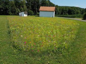 Ein Maisfeld im Hintergrund, wie es von den Bauern zur Verfügung gestellt wurde. (Bild: ZVG)
