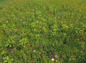 Dank der besonderen Saatmischung gibt es nun viele verschiedene Blumenarten auf den Wiesen. (Bild: ZVG)